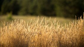 The grass is dry. In the sun, worrying in the wind Stock Photo