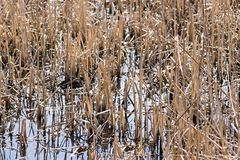 Grass of a dry sedge and reed in water Stock Photo