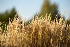The grass is dry. In the sun, worrying in the wind Royalty Free Stock Photos