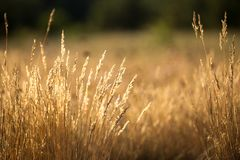 The grass is dry. In the sun, worrying in the wind Stock Images