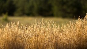 The grass is dry. In the sun, worrying in the wind Stock Image