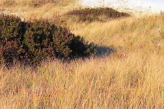 Grass on dune. Dune grasses on shore at island beach state park royalty free stock photo