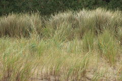 Grass on a dune Royalty Free Stock Image