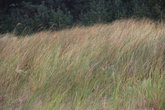 Grass on a dune Royalty Free Stock Photo