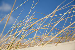Grass on a dune. At the beach with blue sky Royalty Free Stock Photos