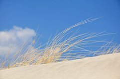 Grass on a dune at the beach. With blue sky Royalty Free Stock Photos