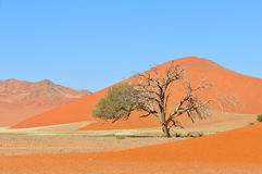 Grass and dune landscape near Sossusvlei, Namibia. Grass in the Tsaugab River floodplain near Sossusvlei, Namibia Royalty Free Stock Photos