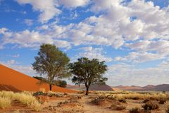 Grass, dune and trees, Sossusvlei, Namibia. Landscape with desert grasses, red sand dune and African Acacia trees, Sossusvlei, Namibia, southern Africa Royalty Free Stock Photo