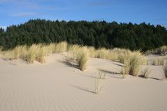 Grass and dunes 1. Sand dune with grass and forest in background. oregon Stock Image