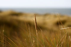 Grass in the dunes Royalty Free Stock Photography