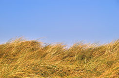 Grass dunes against a blue sky. Grass dunes against a clear blue sky, leaving room for typing. The grass type is ammophila arenaria. The photo was taken in the royalty free stock image