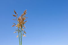 Grass ear. On clear sky background Royalty Free Stock Photo
