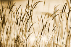 Grass ear background. Natural abstract background: silhouettes of ear grass in sepia with bokeh effect Royalty Free Stock Photos