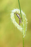 Grass ear and locust Royalty Free Stock Photography