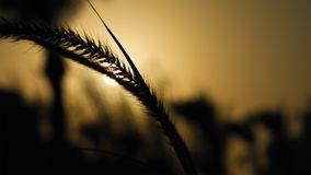 Grass ear spikes silhouette at the sunset Royalty Free Stock Images