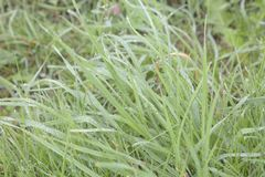 Grass on early morning with moisture and drop on. Macro photo on grass with drolets on, high key resolution low color, bakground material royalty free stock photography