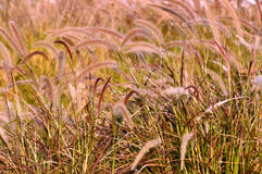 Grass ears Royalty Free Stock Image