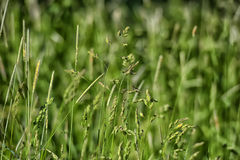 Grass and ears Stock Image