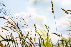 Grass ears Royalty Free Stock Photo