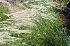 Grass with ears from Royalty Free Stock Images