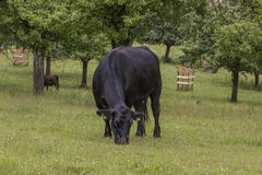Grass eating cow Royalty Free Stock Images