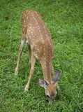 Grass eating fawn Stock Images