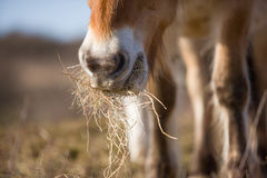 Grass eating horse Stock Photo