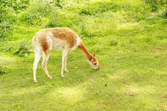 Grass eating lama Stock Photo