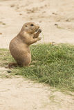 Grass eating North American Prairie dog Stock Image