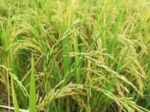 Grass, Ecosystem, Crop, Grass Family royalty free stock photography