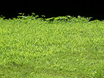 Grass edge. Details of grass edge against black background Royalty Free Stock Photos
