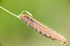 Grass Eggar Caterpillar Royalty Free Stock Photo