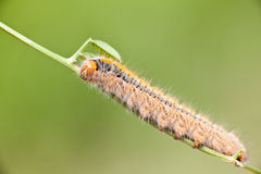 Grass Eggar Caterpillar Stock Image
