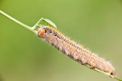 Grass Eggar Caterpillar Stock Image