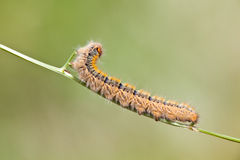 Grass Eggar Caterpillar Stock Photos