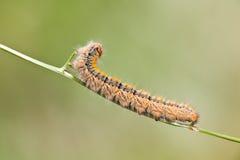 Grass Eggar Caterpillar Stock Photos