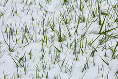 Grass emerging from snow Stock Photos