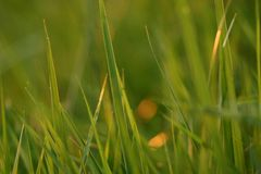 Grass in evening light Royalty Free Stock Images