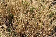 The grass faded in the summer and became dry. It has spikelets of yellow color and its leaves are also yellow. The yellow box looks very beautiful royalty free stock image
