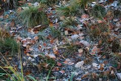 Grass and fallen leaves covered with frost. The picture shows the grass and fallen leaves of trees covered with hoarseness. The film originated at the beginning royalty free stock photography