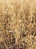 Grass Family, Crop, Food Grain, Grass stock images