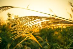 Grass Family, Food Grain, Rye, Wheat royalty free stock images