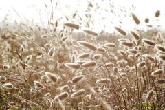 Grass Family, Grass, Food Grain, Grain royalty free stock image