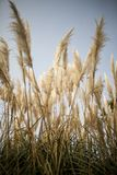 Grass Family, Sky, Phragmites, Grass stock photos