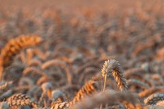 Grass Family, Wheat, Close Up, Field stock photography