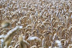 Grass Family, Wheat, Food Grain, Grain royalty free stock images