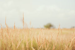 Grass in farm field in sunny day. And a single lonely tree in background Stock Photography