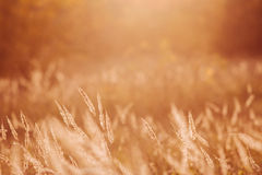 Grass in farm field. At sunset Stock Image