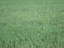 Grass. Farmland grass in a village in india Stock Image