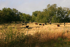 Grass-fed cattle. A farm in Texas with grass-fed cattle roaming around the land stock photos
